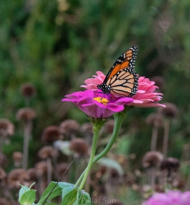 monarch & zinnia
