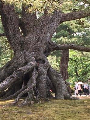 kanazawa - old pine